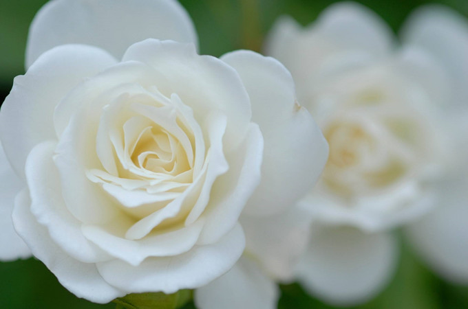 白玫瑰花语:不同数量的白玫瑰各代表什么含