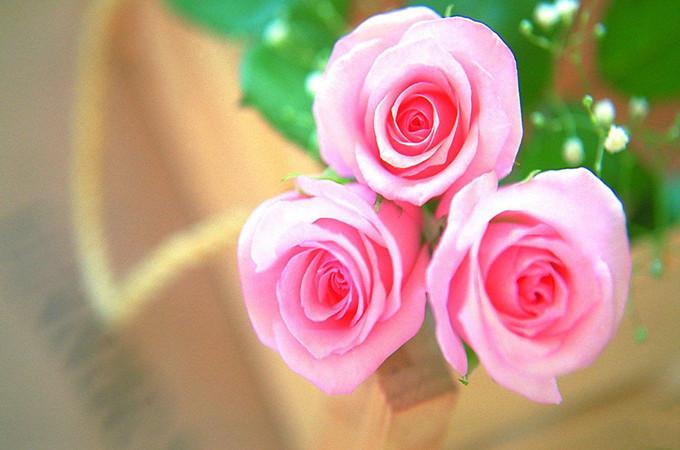 粉色玫瑰花语:不同数量的粉红色玫瑰花语是