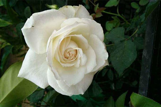 34朵白玫瑰代表什么意思