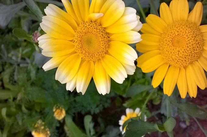 薅一朵美丽的茼蒿花