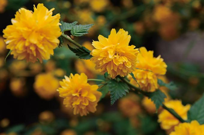 秋季里的金色暖阳——棣棠花