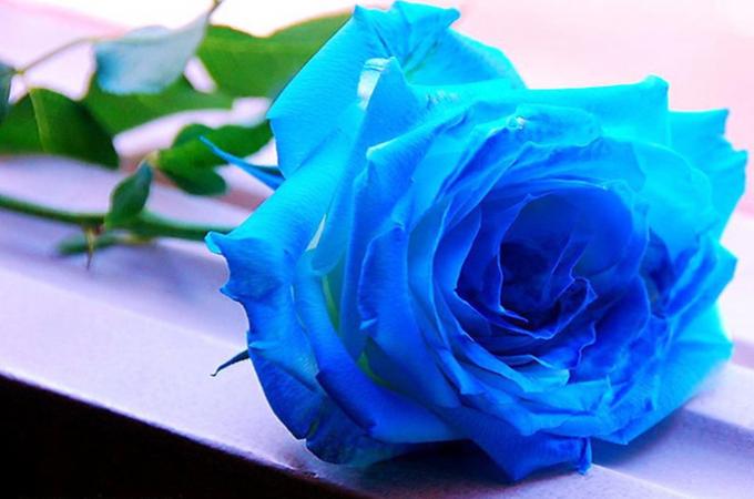蓝玫瑰适合送那些人?