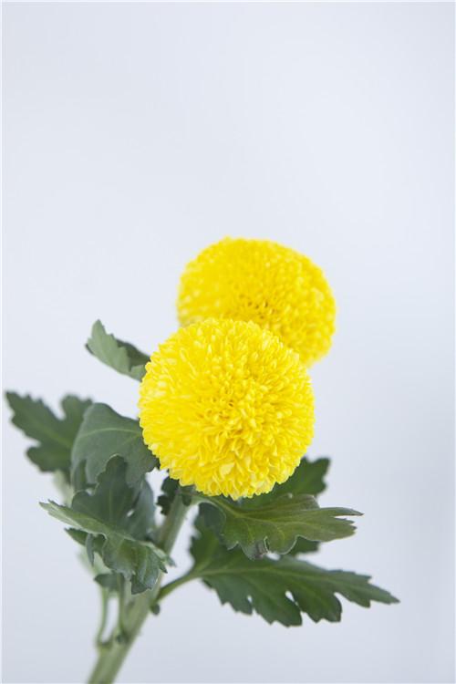 乒乓菊在花艺中的运用,乒乓菊的家居养护要